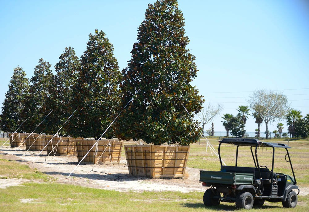 growing room live oak loading amp unloading a 1 400 gallon tree cherrylake 13617