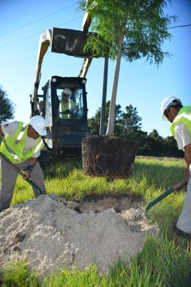 Placing the tree into the planting hold can be done using a front end loader boom.