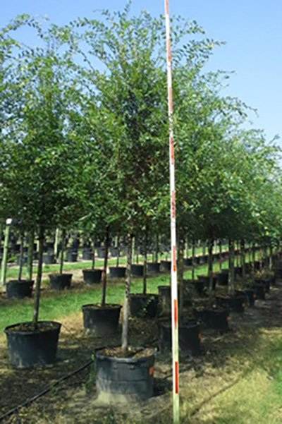 Allee Elm Potted