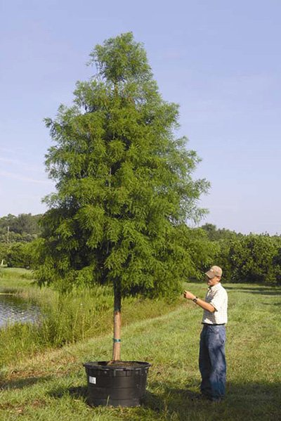 Autumn Gold Bald Cypress Potted