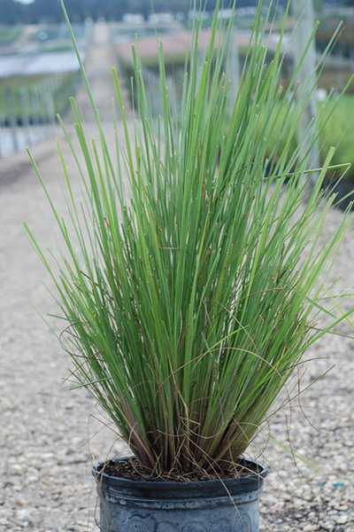 Dwarf fakahatchee grass cherrylake for Spiky ornamental grass