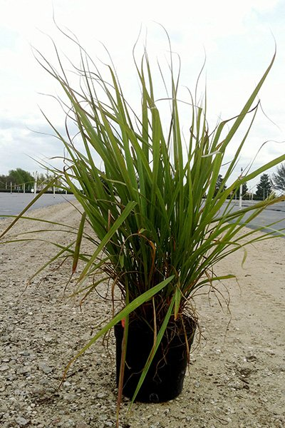 Fakahatchee Grass Potted