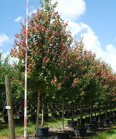 Flame Red Maple Potted