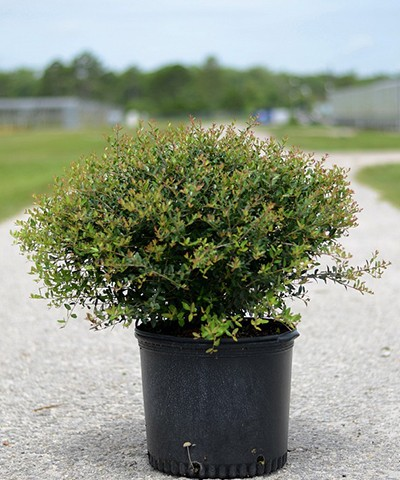 Holly Schillings Dwarf Potted