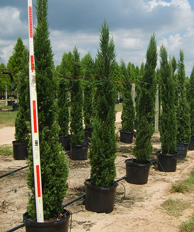 Italian Cypress Potted