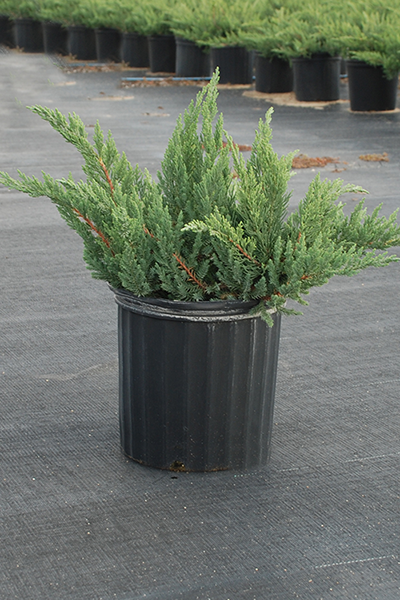 Juniper Parsoni Potted