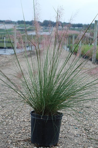 Muhly Grass Potted