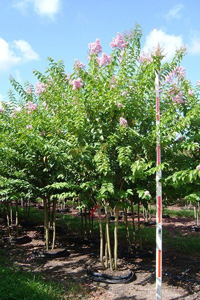 Muskogee Crape Myrtle Potted