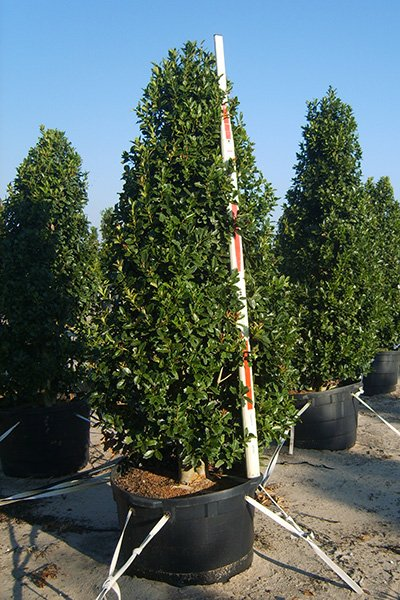 Oakleaf Holly Potted