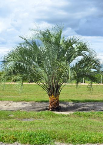 Pindo Palm Field Grown