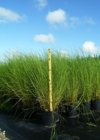 Sand Cordgrass Potted