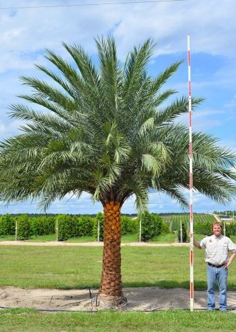 Sylvester Palm Field Grown