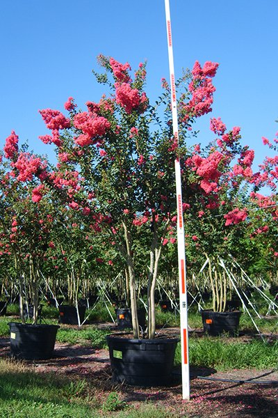 Tuscarora Crape Myrtle Potted
