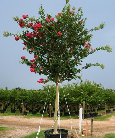 Tuskegee Crape Myrtle Potted
