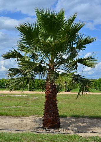 Washingtonia Field Grown