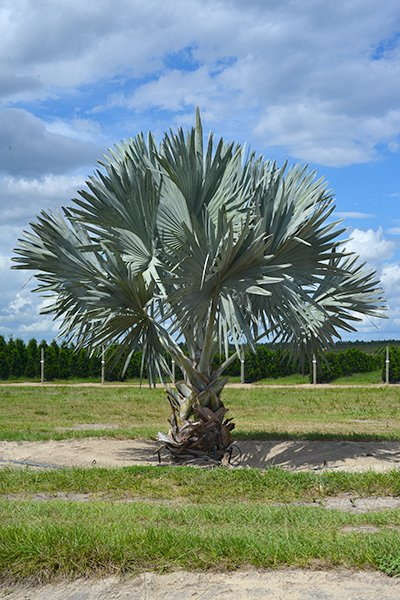 16' Bismarck Palm in the Field