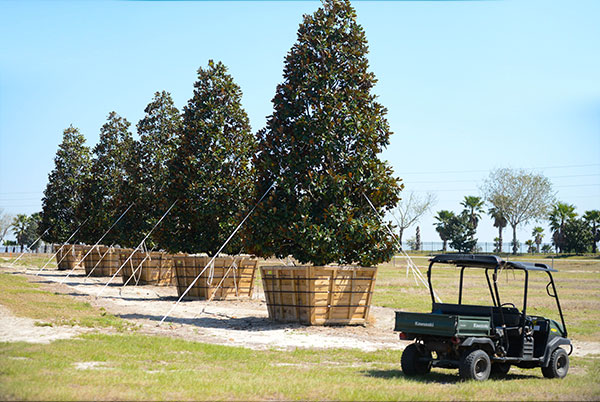 Loading and unloading 1,400 magnolias. Farm view with rows of magnolias and a farm vehicle.