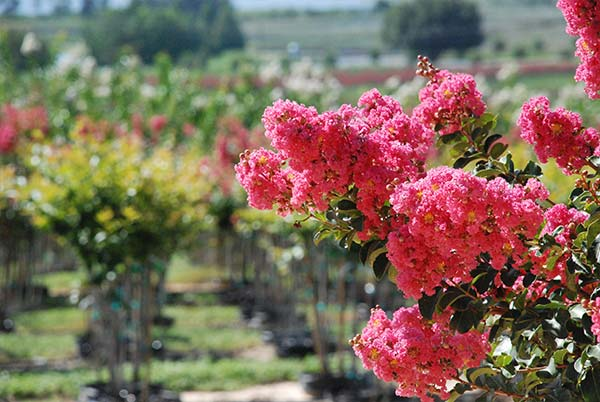 Spring Flush Crape Myrtles