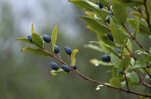 Wax Myrtle Berries