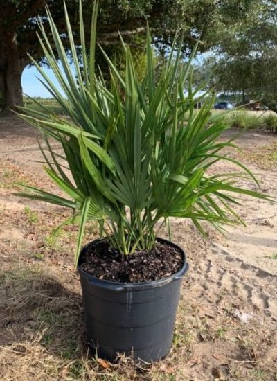Container grown Sabal Minor
