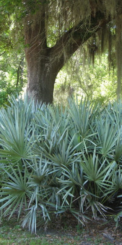 Saw Palmetto 'Silver' in the landscape
