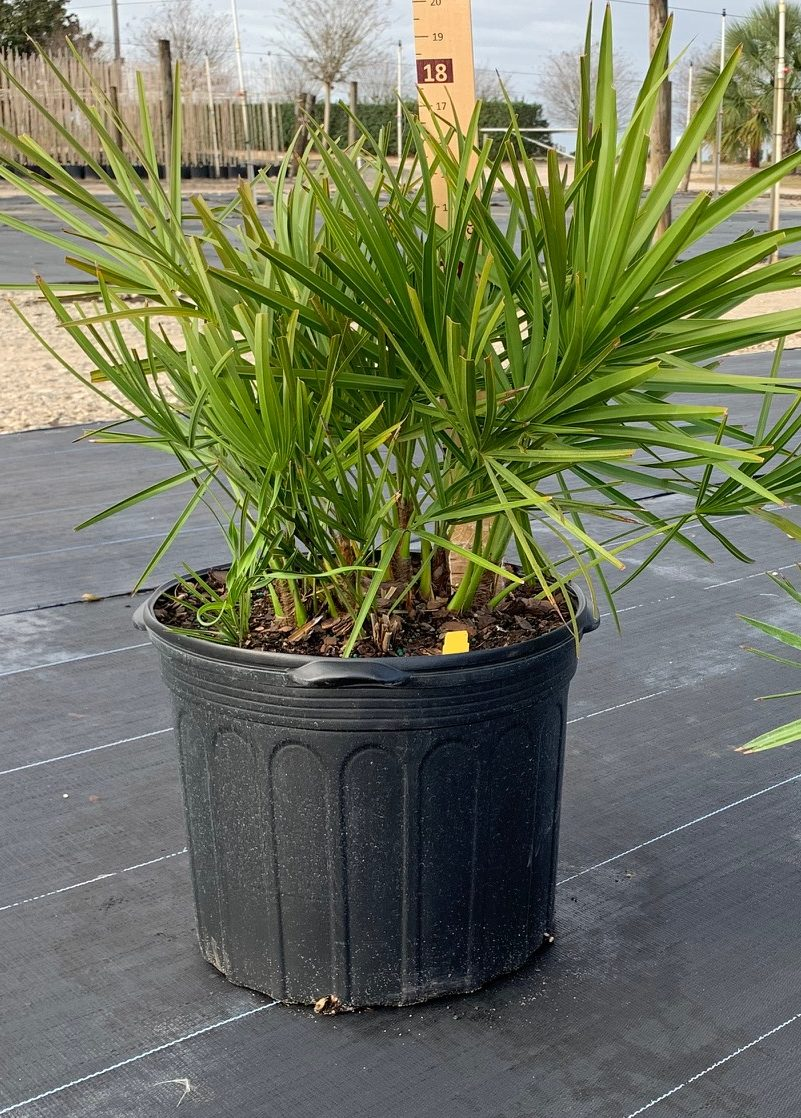 Container grown Saw Palmetto 'Green'