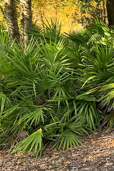 Saw Palmetto 'Green' in the landscape
