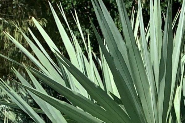 Saw Palmetto 'Silver' leaves
