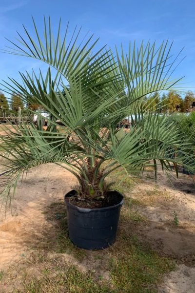 Pindo Palm in container