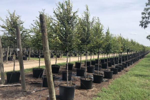 Container grown Winged Elms