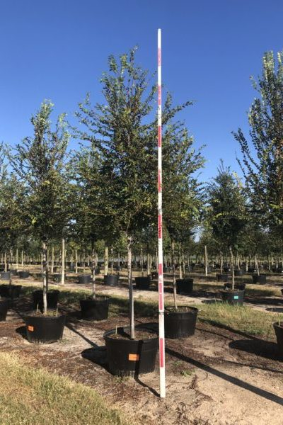 Container grown Winged Elm