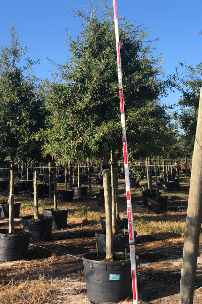 Container grown Willow Oak