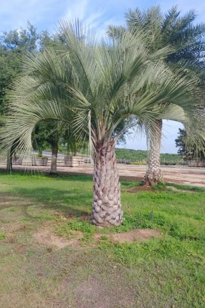 Pindo Palm in the landscape