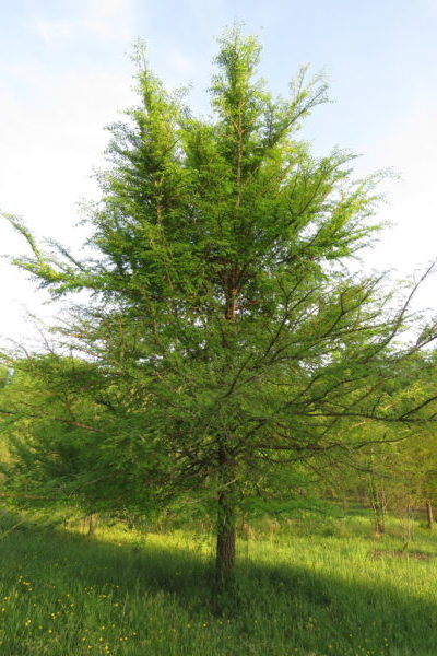 Winged Elm in the landscape