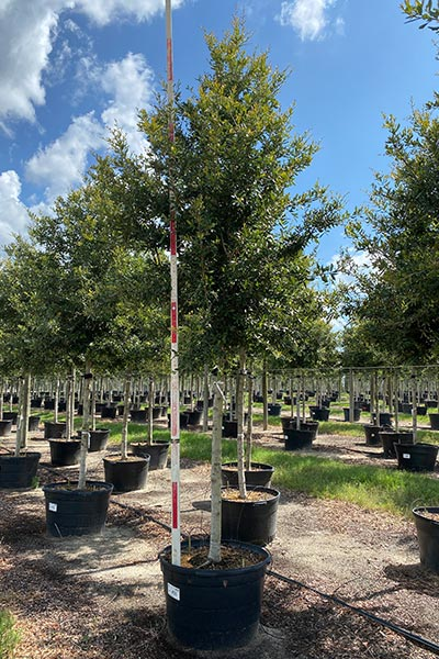 Cathedral Oak potted