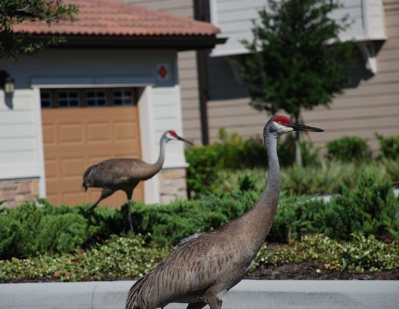 Cherrylake Sustainable Maintenance Sandhill Cranes