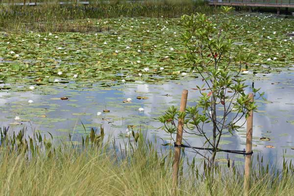 The park is decorated with a number of wet, aquatic plants as well as pickleweed and bald cypress.