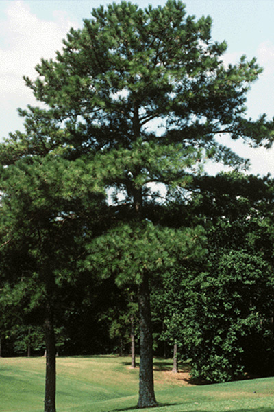 Loblolly Pine in the landscape