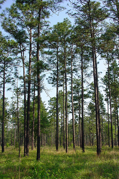 Longleaf Pine in the landscape