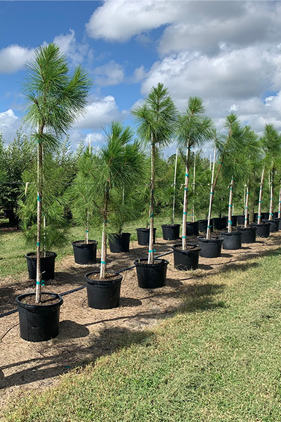 Cherrylake Slash Pine in Pots