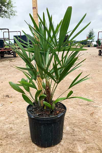 Container grown Needle Palm